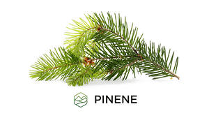 Beta-Pinene - Terepene Education 1